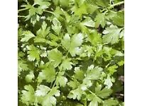 Coriander Confetti - Growing in 7cm Pot –Full of Flavour - 50p each