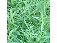 Tarragon Russian - Growing in 7cm Pot – Full of Flavour - Cut and Come - 50p each