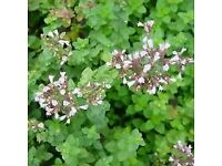 Oregano Zaatar - Growing in 7cm Pot –Full of Flavour - Cut and Come - 50p each