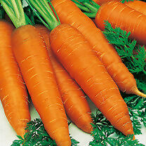 Carrot – Autumn King – Tray of 20 for £1.00