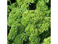 Parsley Darki - Growing in 7cm Pot –Full of Flavour - 50p each