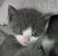 """Baby Male Cat - Domestic Short Hair: """"Tubby 15 (PN 136)"""""""