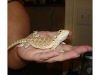 Selling my pet Bearded Dragon called Tony