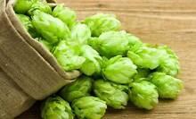 CASCADE GOLDING Hops Rhizomes Home Brewing Herb Medicinal Vine Bendigo Bendigo City Preview