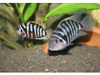 for sale Convict Cichlids Tropical Fish a very Hardy £10 for 10 fish, swaffham