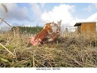 3 ex battery hens for sale £10 for the three.