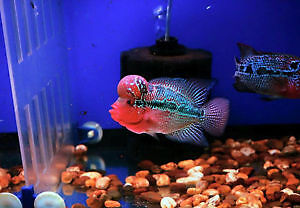 Flowerhorn Discus Cichlid Angel Fish PlecoKoi Aquarium Fish tank
