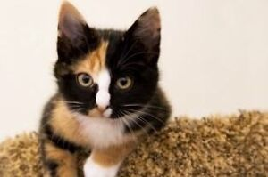 Looking for two Calico kittens