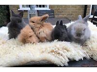 5 Beautiful Mini Lion Lop Rabbits