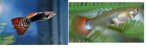 Guppy, Molly and Cherry Shrimp - adult, Juvenile and fry Willetton Canning Area Preview