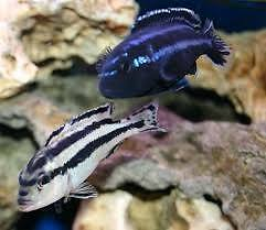 FISH - PARALLEL STRIPED MBUNA CICHLIDS