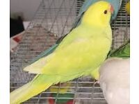 Baby yellow lacewing ringneck parrots 12 weeks old males and females with papers