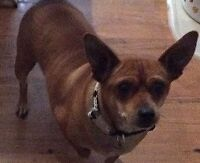 **Adorable Hanna - CHIHUAHUA cross is available for adoption***