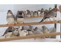20 zebra finches for 25 pounds