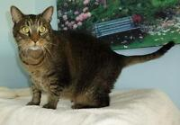 "Adult Male Cat - Tabby-Domestic Short Hair: ""C - 91 Spencer"""