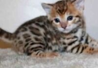 >^,^<MINI LEOPARD BENGAL KITTENS  OUTSTANDING QUALITY >^,^<