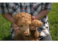 standard poodles KC registered boys only