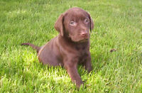 PUREBRED CHOCOLATE LAB PUPPIES -CKC REGISTERED