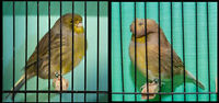 Gloster Canary Pair (Male & Female) WANTED!!