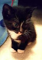 "Baby Male Cat - Domestic Short Hair: ""Thorn"""