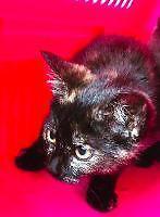 "Baby Female Cat - Domestic Short Hair: ""Estrada"""
