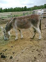 female donkey