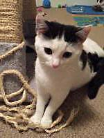 "Young Female Cat - Domestic Short Hair-white: ""Tallulah"""