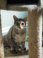 "Young Female Cat - Domestic Short Hair: ""Zelda"""
