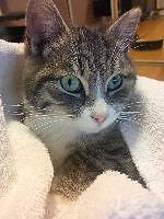 """Young Male Cat - Domestic Short Hair: """"Lyle"""""""