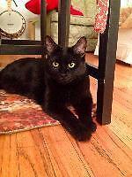 "Adult Female Cat - Domestic Short Hair: ""Lilo"""