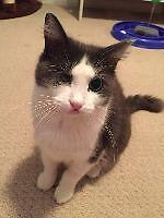 "Adult Female Cat - Domestic Medium Hair: ""Leela"""