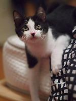 """Young Male Cat - Domestic Short Hair: """"Wheels"""""""
