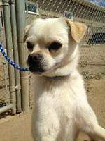 "Adult Male Dog - Pug-Terrier: ""Hank"""