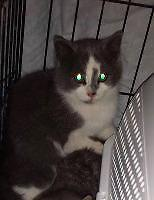 "Baby Male Cat - Domestic Short Hair: ""Driver"""