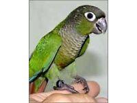 Missing green cheek conure parrot