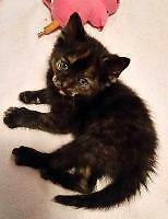 "Baby Female Cat - Domestic Short Hair: ""Tuscan Rose"""
