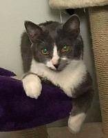 "Young Male Cat - Domestic Short Hair: ""Colby"""