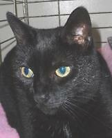 """Adult Female Cat - Domestic Short Hair: """"Calley 09"""""""