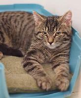 """Baby Male Cat - Domestic Short Hair: """"Anatolie"""""""