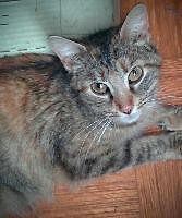 "Adult Female Cat - Domestic Short Hair: ""Ceilidh"""