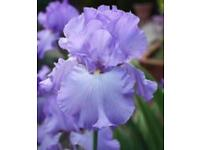 Flowers iris/flag plants