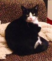 """Adult Female Cat - Domestic Short Hair: """"Cindy Lou Who"""""""
