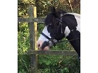 Black Windsor Pony Bridle