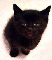"Baby Male Cat - Domestic Short Hair: ""Juniper"""