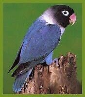 Looking for black head Male love Bird