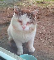 "Adult Male Cat - Domestic Short Hair: ""Blanchou"""