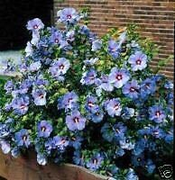 Rose of Sharon Seeds ? *Blue Bird* ? Hardy Perennial Flowering Shrub ? 25+ Seeds