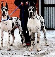 GREAT DANE PUPPIES. Due first week in October.