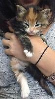 "Baby Female Cat - Domestic Medium Hair: ""Snitch"""