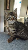 """Baby Male Cat - Domestic Short Hair: """"Toulouse"""""""